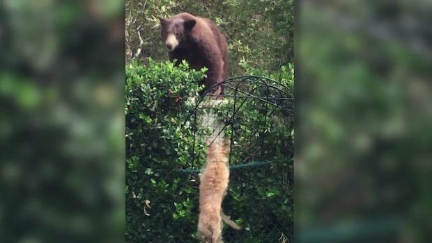 Grizzlybjörnen inkräktar på HELT fel revir