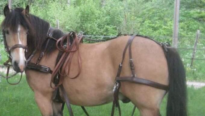 Hästen Helge blev rädd för fyrverkerier på nyårsafton och sprang genom stängslet. Foto: Privat
