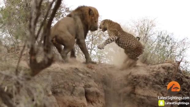 Leoparden sover när faran närmar sig