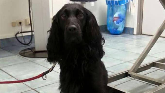 """Mika fick köras till djursjukhuset för undersökning. Lyckligtvis konstaterade veterinären att Mika klarat sig utan allvarligare skador. """"De var oroliga för att hon skulle ha fått inre blödningar"""", säger matte Susanne. Foto: Privat"""