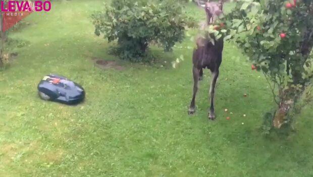 Här upptäcker hon den oinbjudna gästen i trädgården