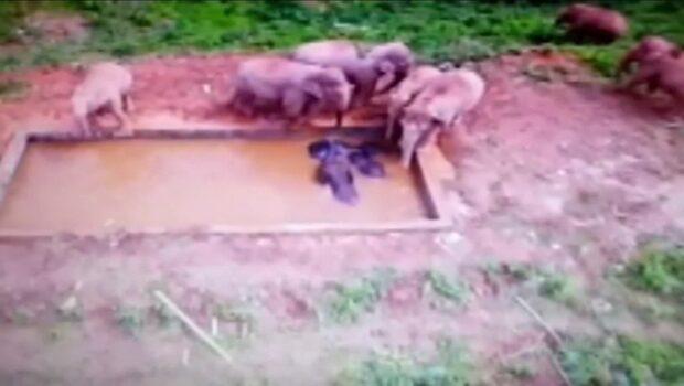 Elefantflocken vägrar överge sina kamrater