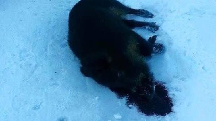 De aggressiva vildsvinen var på väg att gå till attack mot en mamma och hennes barn. Foto: Läsarbild