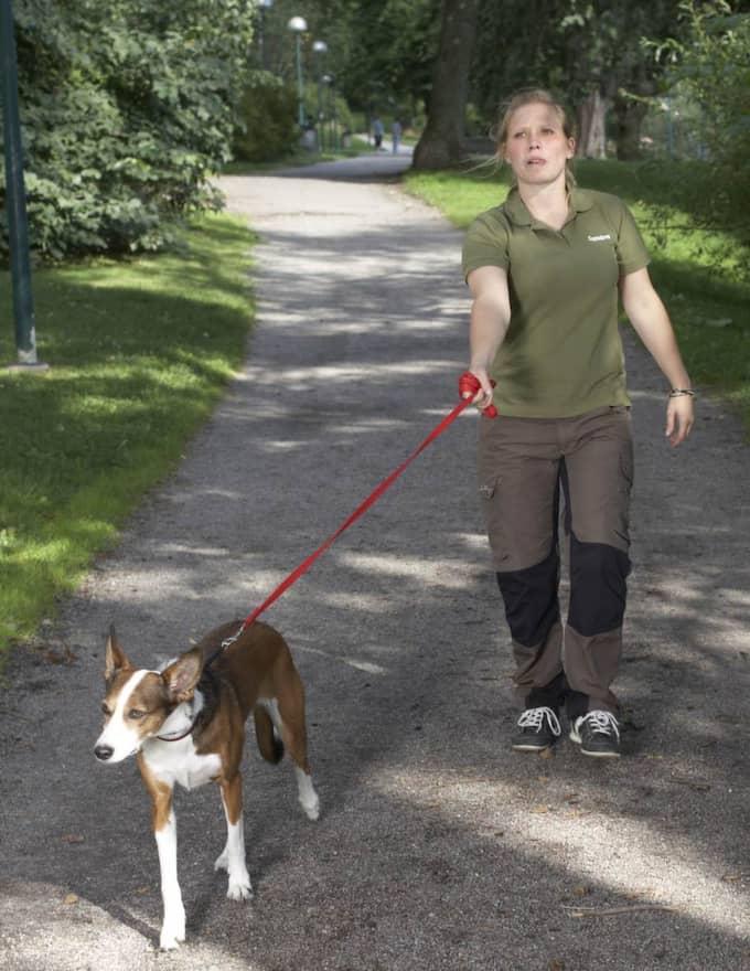 Fel: Vira kopplet kring handen. Ha kopplet kort och spänt så att hunden inte har något annat val än att dra. Foto: Jörgen Hildebrandt