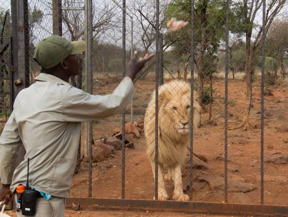Lejonen i bur på Akwaaba matas under rundvisningen. Foto: Toby Selander