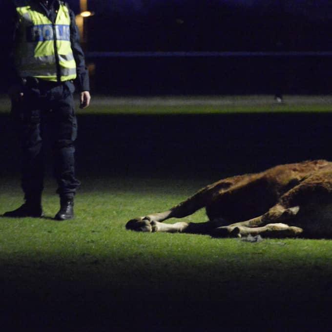 Kossan sköts ihjäl av polis. Foto: Fritz Schibli