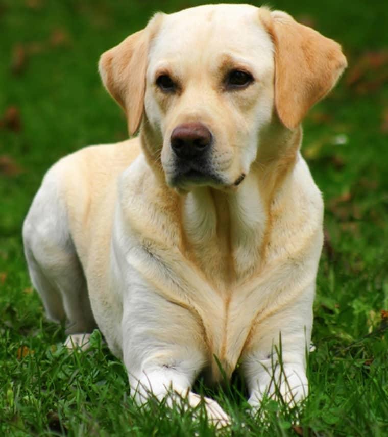 Labradour retriver - en toppenhund enligt Sveriges hundägare.