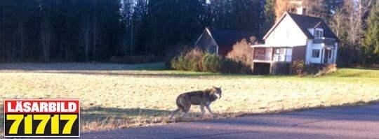En varg har skjutits i Dalarna. Troligen rör det sig om samma varg som de senaste dagarna har synts nära en skola i Vad, och tvingat skolbarn att stanna inne på rasterna. Foto: Andreas Ludvigson