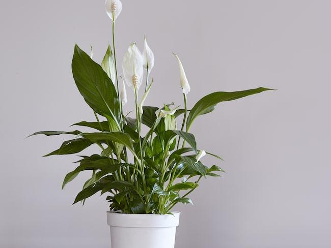 ... peace lily och white sails på engelska.