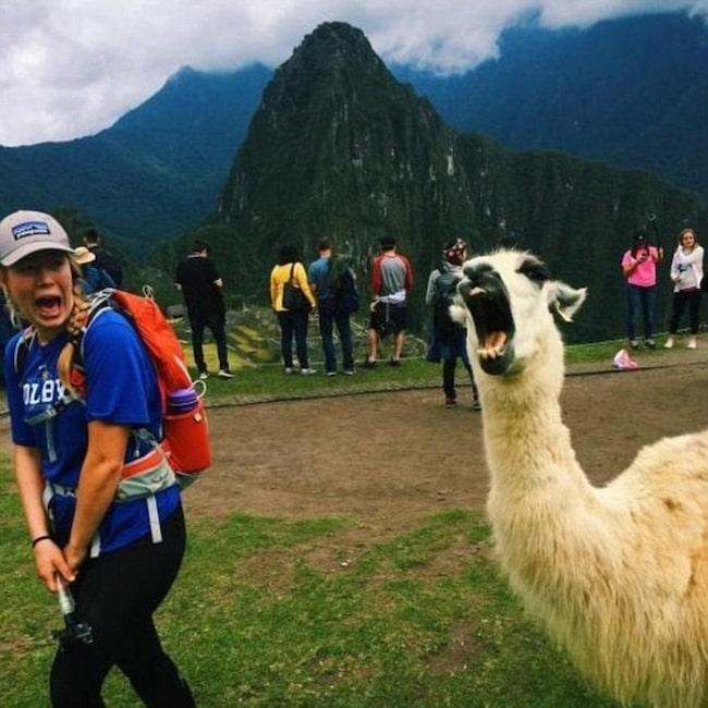 Den här turisten verkar inte riktigt med på noterna när en alpacka invaderar hennes foto på Perus Machu Picchu.