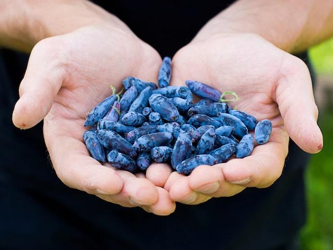 De ser knasiga ut – men smakar som en blandning mellan blåbär, hallon och svarta vinbär.