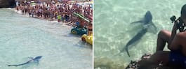 Haj på Mallorca skapade stor panik bland turister