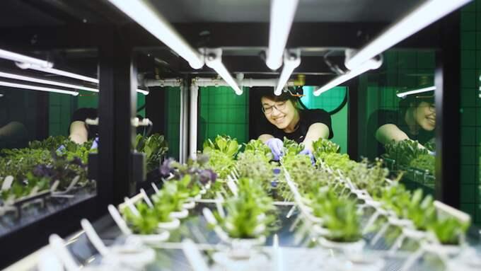 Det blir väldigt mycket smak i grödorna så man måste använda mindre av till exempel Basilika säger Catarina Englund. Foto: IKEA