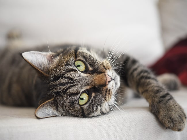 Med en katt hemma känner du dig aldrig ensam. Dessutom är du friskare.