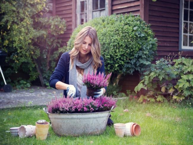 Nu är det högsäsong för ljung. Blomman är den populäraste uteväxten under hösten och vintern. Den vackra rosa ljungen passar bra för vintern eftersom den är frosttålig och kan hålla väldigt länge om man väljer rätt sort, sköter den rätt – och vattnar.