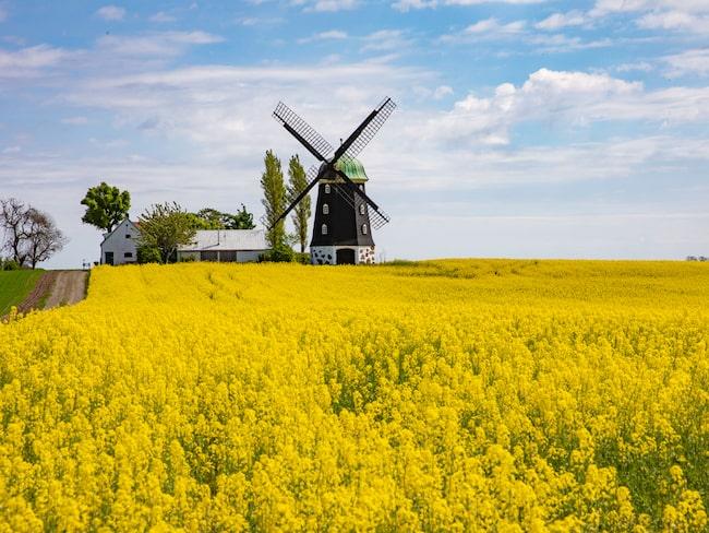 Gula rapsfält och vackra kvarnar så långt ögat når – i Sveriges svar på Provence.