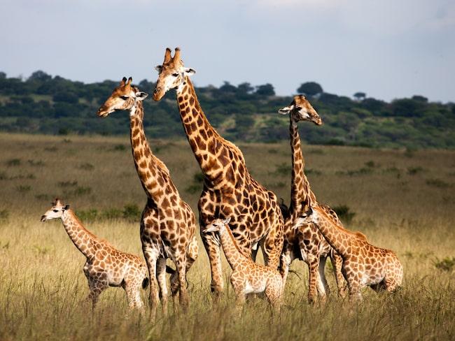 Passagerarna på lyxkryssningen får också gå på safari.