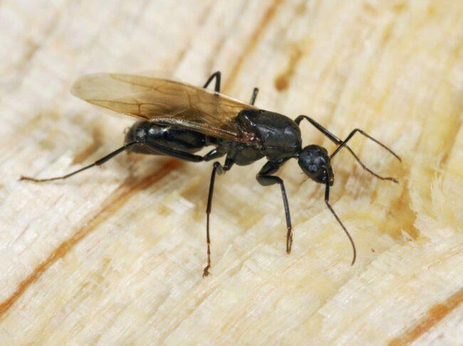 Flygmyror brukar visa sig under sensommaren när det är varmt.
