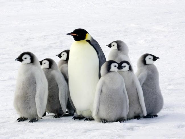 Kejsarpingvinen kan ses på Antarktis.