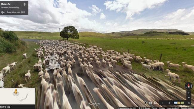 <span>På bloggen Google Sheep View samlas Street View-bilder där får förekommer från hela världen. Just den här är från Omakere, Hawkes Bay i Nya Zealand.</span>