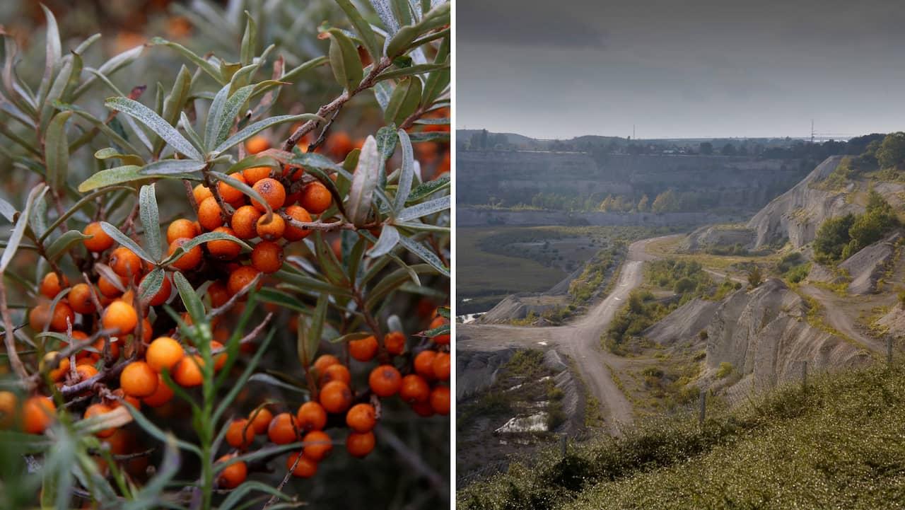 Hotet från populära bäret – slår ut andra växter