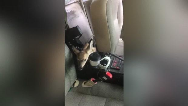 Polismännens förvåning när de ser vad som sitter i baksätet på polisbilen