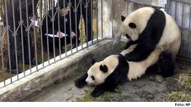 Äntligen hettar det till. Jättepandan är oftast inte så intresserad av att para sig, men efter att ha kollat in några pandaporrfilmer blev de sugna. Det kan bli räddningen för den utrotningshotade arten.