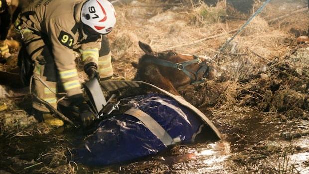 Här räddas hästen ur isigt dike