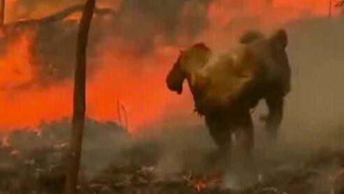 8400 koalor kan ha dött i enorma bränderna i Australien