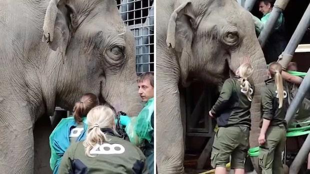 Här försöker veterinärer rädda livet på elefanten