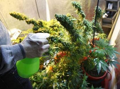 """Odlar hemma. Trebarnspappan Niklas odlar marijuana hemma i radhuset. Han hoppade på odlingsvågen när den kom för sju-åtta år sedan. Cannabis har blivit ett alternativ till alkohol för honom. """"Barnen vet att det inte är något för dem, precis som kaffe eller vin. De har sett oss röka gräs och kan jämföra med en svensk fyllefest, där folk börjar skrika eller slåss."""" Foto: Hasse Eriksson"""