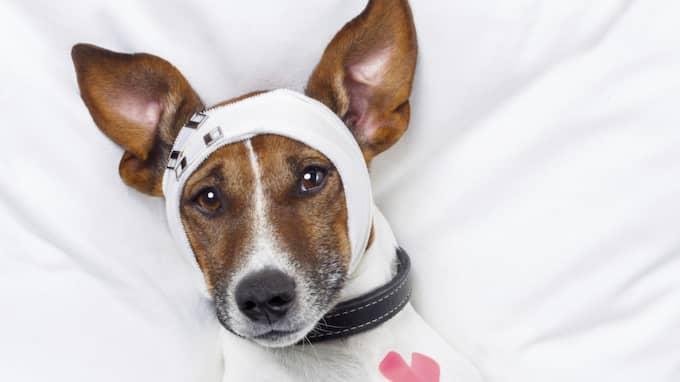 Svenska hundägare lägger allt med pengar på omvårdnad av sina hundar. Foto: Javier Brosch / GETTY IMAGES/ISTOCKPHOTO