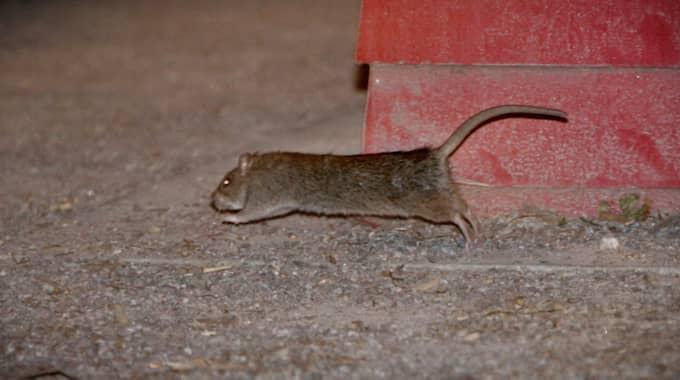 råttor i stockholm