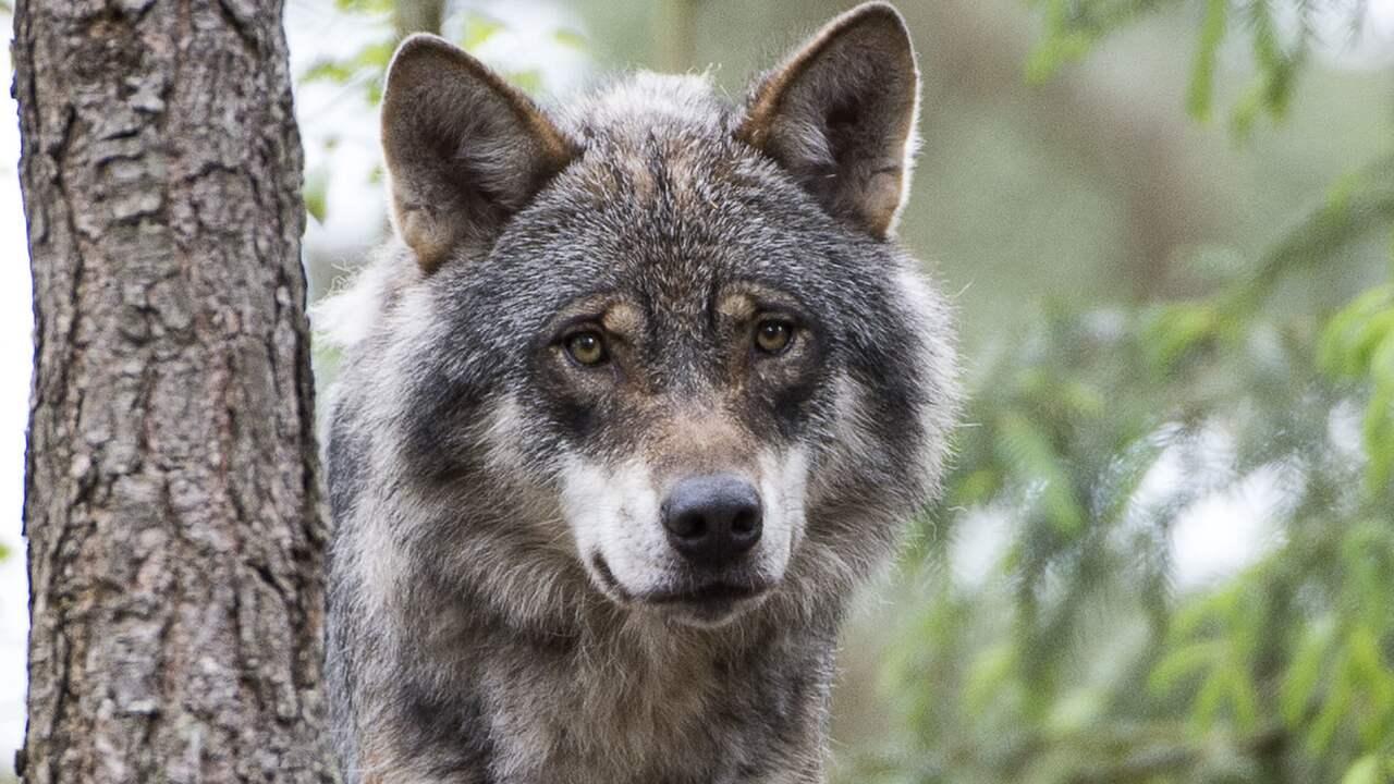 Stockholms lan bor gora plats for fler rovdjur