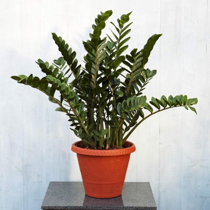 grön växt som tål direkt solljus