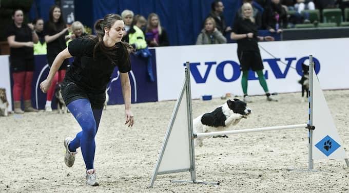 """Emma Niklasson och hunden Egon tycker båda att agility är fantastiskt roligt. """"Att tävla i Scandinavium är en extrem situation. Men Egon klarade det väldigt bra"""", säger matte Emma. Foto: Anna Bergkvist"""