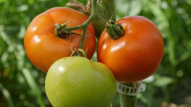 Odla tomater: Tricket som räddar dina rangliga plantor