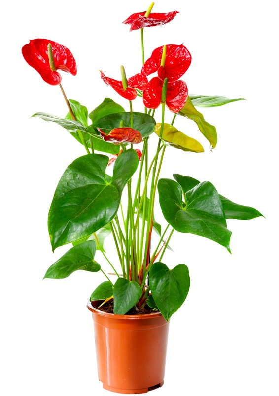 kalla blomma röd