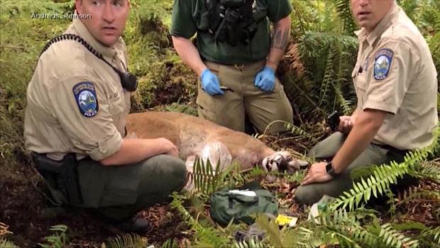 Puma attackerade cyklister - en död och en skadad