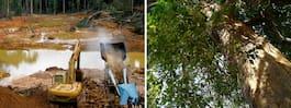 Grönt hopp för Amazonas regnskogar