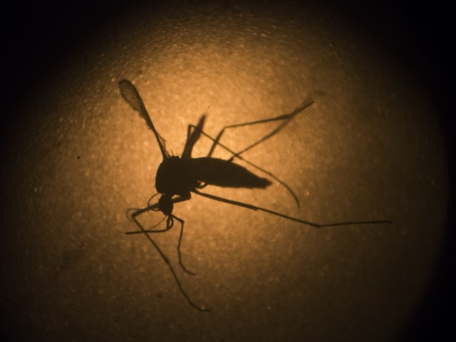 <span>Den fruktade myggan sprider viruset.</span>
