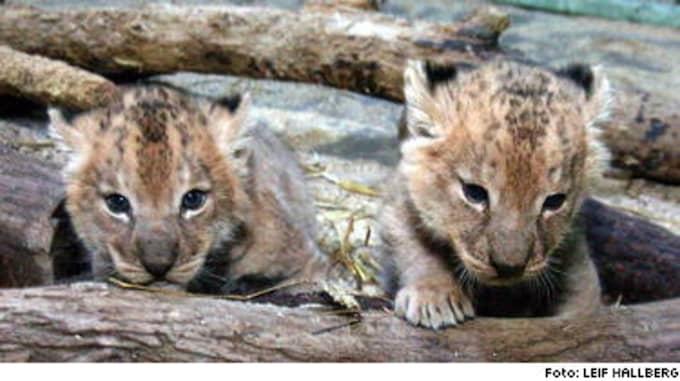 DJUNGELNS DROTTNINGAR. De snart en månad gamla lejonungarna på Kolmården har ännu inte fått några namn. Vad tycker du att lejontjejerna ska heta? Mejla oss!