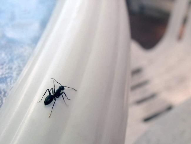 <span>Många har problem med myror i hemmet. Ofta kan det räcka med att tvätta området där de kommer in med såpa, så kommer det inte in några fler.</span>