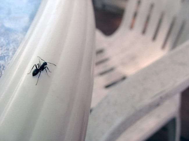 Svartmyror börjar leta sig inomhus när det blir varmare ute och innan blomningen tagit fart.