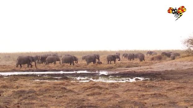 Botswana legaliserar elefantjakt – efter fem års förbud