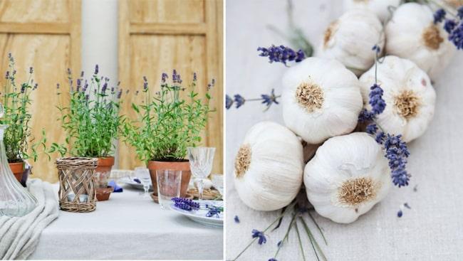 Lavendel odlas och är härdig upp till södra Norrland, men kan ibland påträffas helt vild i Sydsverige.