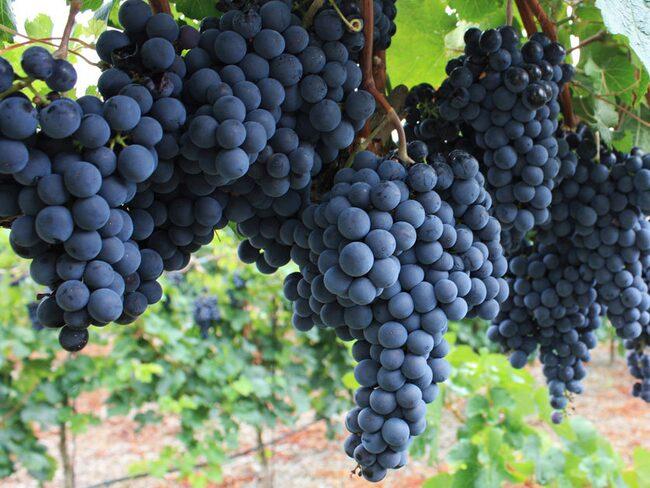 Viner från syrahdruvan beskrivs ofta som mustiga, kryddiga och fruktiga.