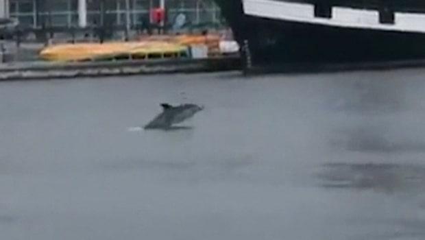 Ovanliga synen: Delfin dök upp i Dublin