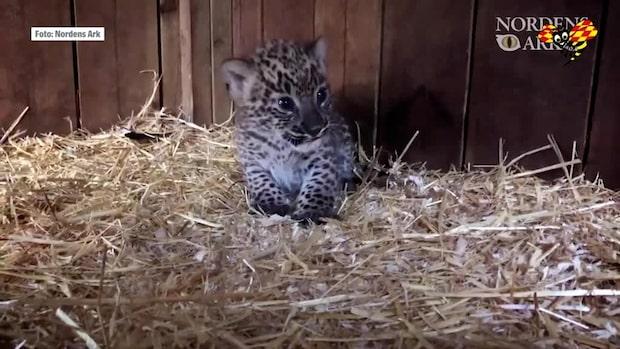Sötchock: se den persiska leopardungen här