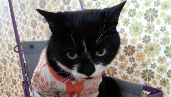 Barnen lekte att katten Pedro var en bebis och klädde honom i en vit-orange bebiströja - men det var inte så populärt. Pedro smet ut ur huset och återvände först efter flera timmar - utan kläder. Foto: Privat